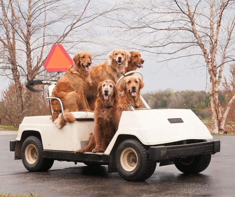 Dogs riding a cart | roofing in Madison